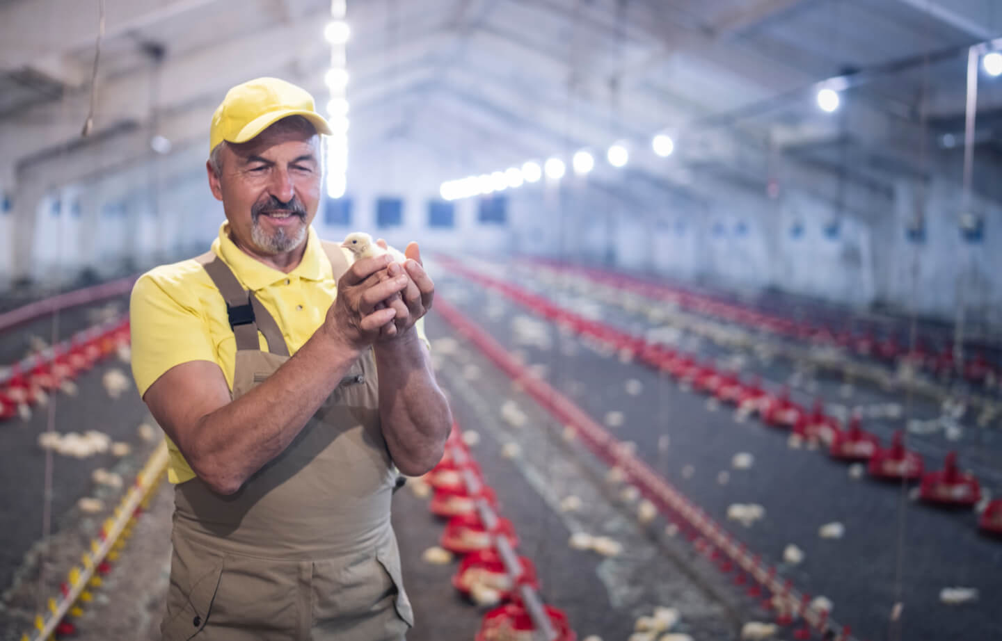 A farmer with a yellow hat, holding a chick